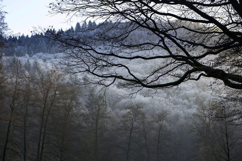First Snow Bare Tree Beauty In Nature Branch Day Forest Low Angle View Nature No People Outdoors Scenics Sky Tranquility Tree Winter Shades Of Winter