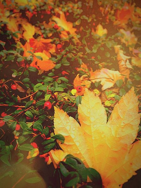 Leaf Autumn Nature Close-up Maple Leaf Leaves Outdoors Beauty In Nature Fragility Freshness Growth Day Change Backgrounds Maple Transitional Moments Autumn 2016 Falling Leaves Landscape_photography From My Point Of View Travel Photography Beauty In Ordinary Things Wish You The Most Happiest Moments!