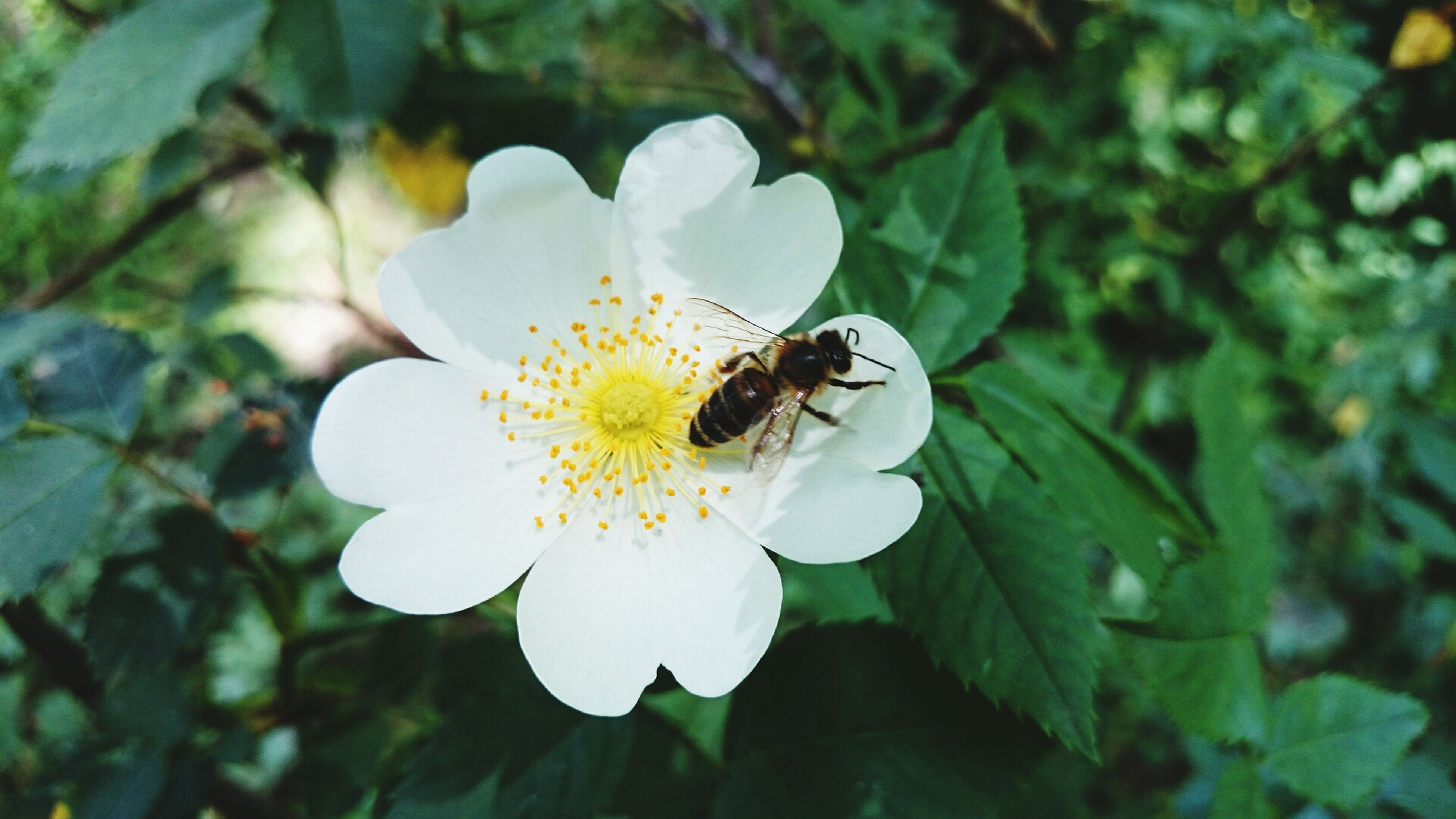 flower, insect, petal, animal themes, one animal, white color, fragility, freshness, animals in the wild, wildlife, growth, flower head, close-up, beauty in nature, focus on foreground, nature, pollen, plant, blooming, single flower