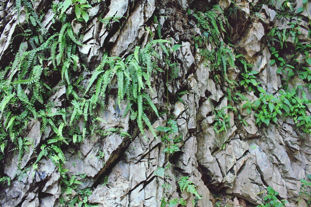 nature, growth, leaf, green color, day, full frame, tree trunk, plant, close-up, outdoors, no people, ivy, backgrounds, textured, tree, fragility, beauty in nature, fungus, freshness