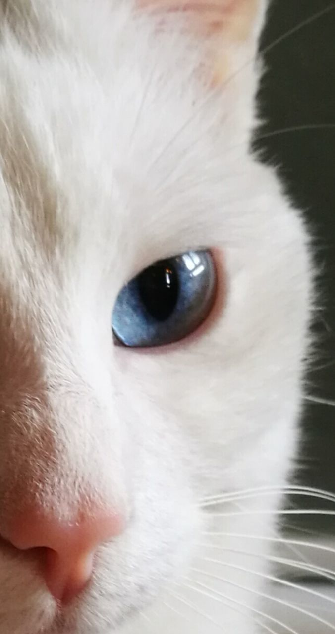 domestic cat, pets, domestic animals, one animal, feline, animal themes, portrait, cat, mammal, animal eye, looking at camera, whisker, close-up, siamese cat, cute, indoors, no people, yellow eyes, day
