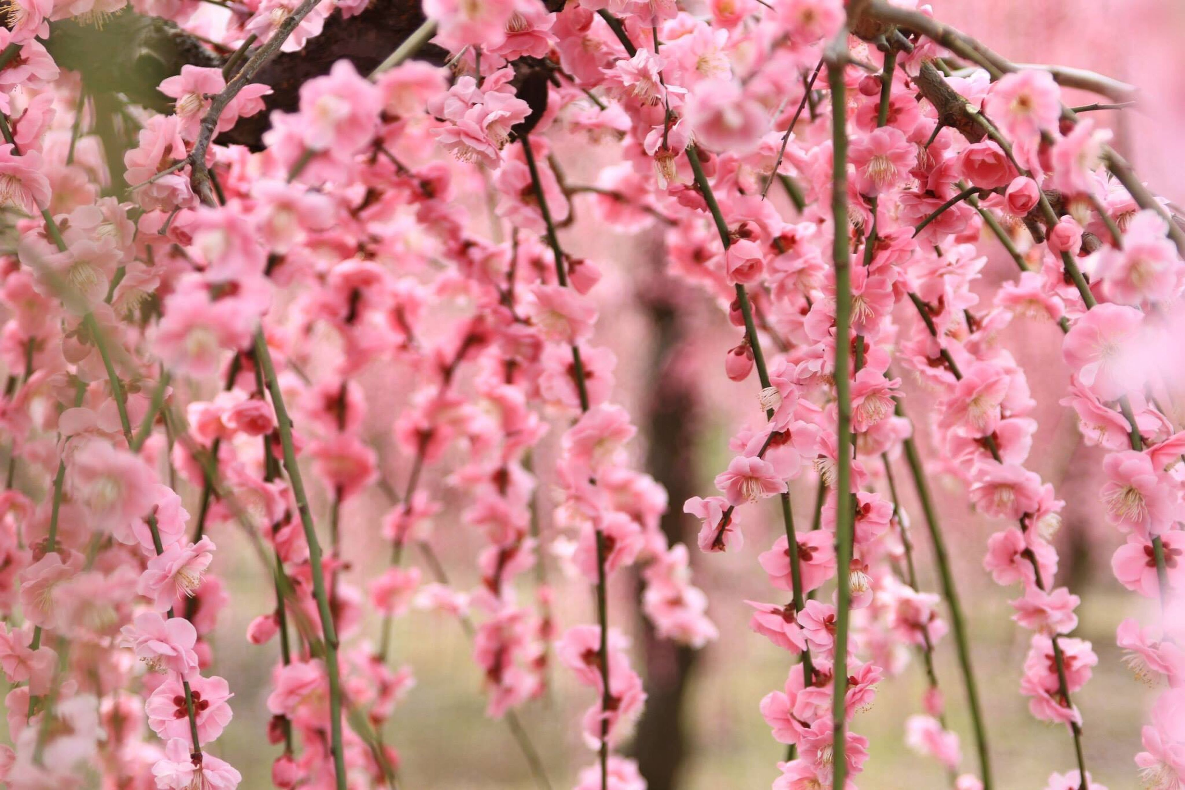 flower, freshness, pink color, growth, fragility, beauty in nature, branch, nature, tree, pink, blossom, close-up, cherry blossom, petal, cherry tree, focus on foreground, in bloom, blooming, twig, springtime