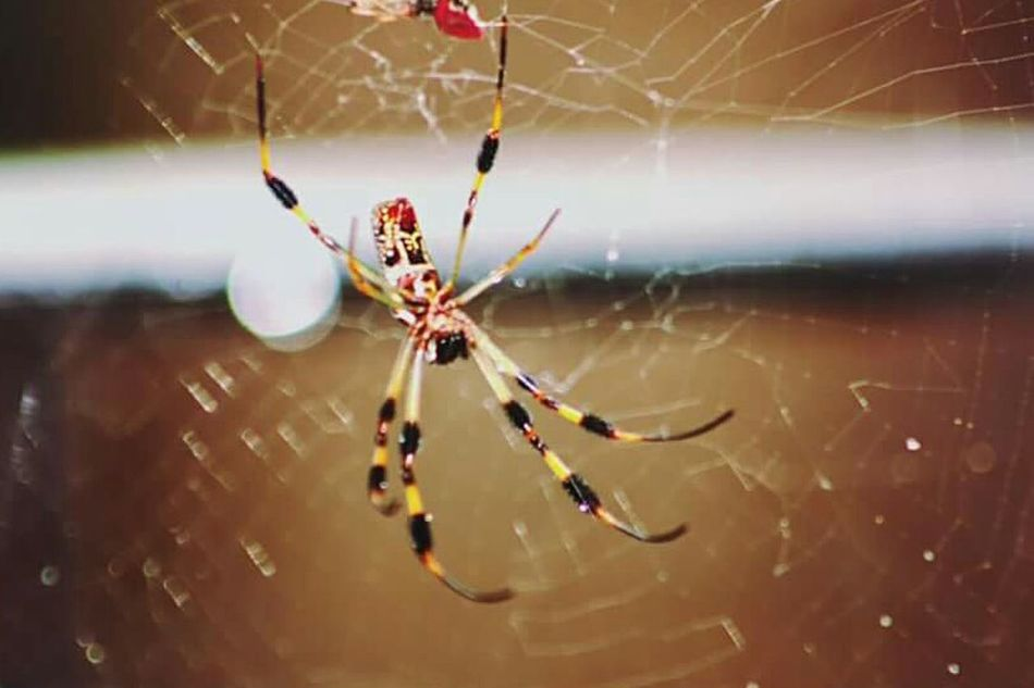 Spider Spider Web Spiders Insect Spider Animal Themes Web Nature Animal Leg Fragility One Animal Animals In The Wild Animal Wildlife Beauty In Nature Weaving Outdoors Insects  Insect Photography Banana Spider Close-up Photography