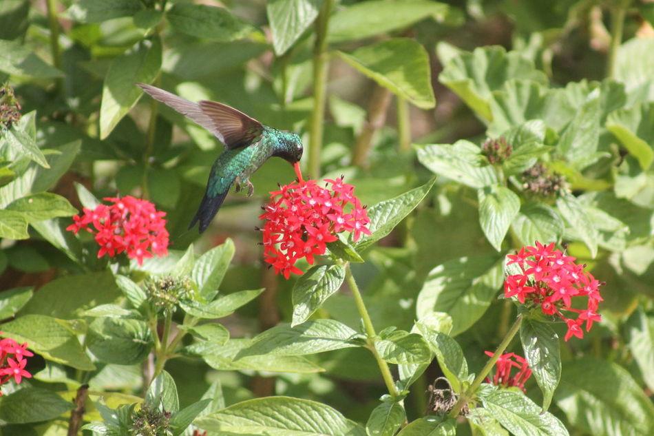 Besourinho-de-bico-vermelho Beija-flor Besourinho-de-bico-vermelho Bird Green Bird Green Hummingbird Hummingbird Nature