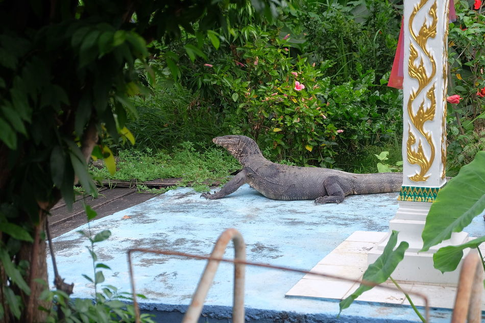 Water monitor on terrace Concrete Floor Flower Garden Green Home Is Where The Art Is House Lizard Monitor Monitor Lizard Nature Park Plant Ramble Reptile Reptile Photography Terrace Tree Varanidae Varanus Salvator Water Monitor Water Monitor Lizard