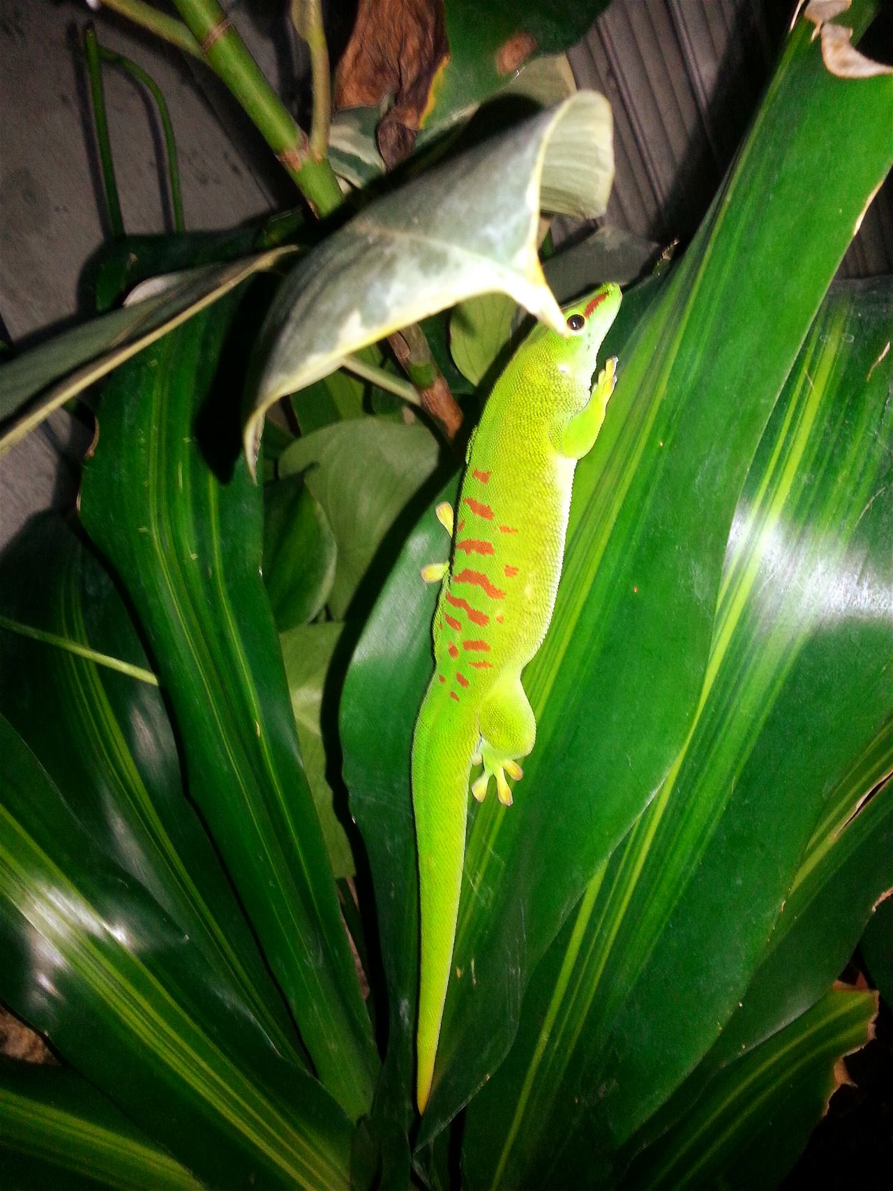 """Lilith"", 4,5 year old Grandis male, sleeps. Sleeping Sleeping Time Sleeping Poses Sleeping Positions Sleeping Position Green Color Dreaming Jurassic World Of Dino's Exotic Creatures Dino's Photography Check This Out Special_shots Real Life Exotic Animals God's Beauty Beautiful Nature Living With Nature Green Nature Dragon FANTASTIC CREATURES Jurassic World Jurassic Park Wonderful Nature Exotic Sleeping Boy"
