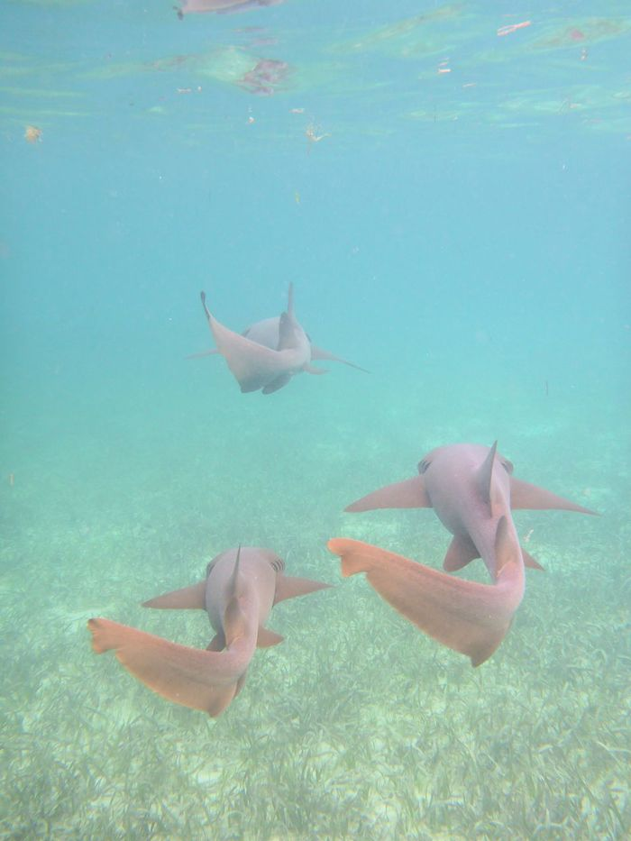 snorkeling with nurse sharks in stingray city, Grand Cayman Animal Themes Animals In The Wild Creatures Dangerous Day Dive Grand Cayman Island Mammal Nature Nurse Shark Ocean Outdoors Sea Life Shark Snorkeling Stingray City Swimming UnderSea Underwater Underwater Photography Water