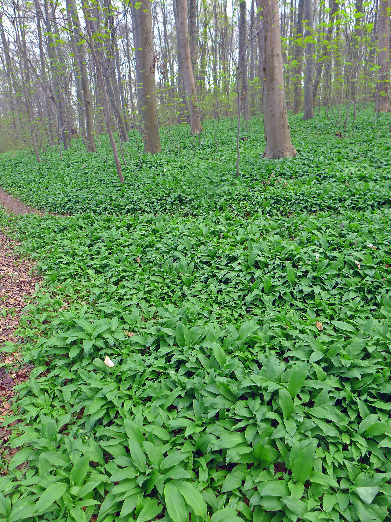 Bärlauchfelder im Wiehengebirge Allium Ursinum Beauty In Nature Bärlauch  Green Color Growing Growth Leaf Leaves Lush Foliage Plant Ramsons Tranquility Wild Garlic