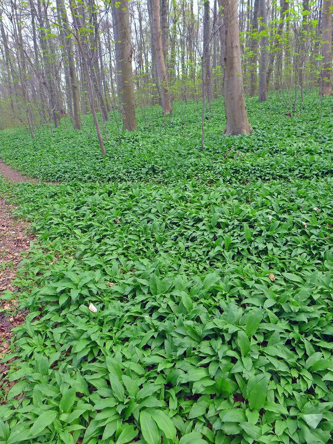 Bärlauchfelder im Wiehengebirge Allium Ursinum Beauty In Nature Bärlauch  Green Color Growing Growth Leaf Leaves Lush Foliage Plant Ramsons Tranquility Wild Garlic