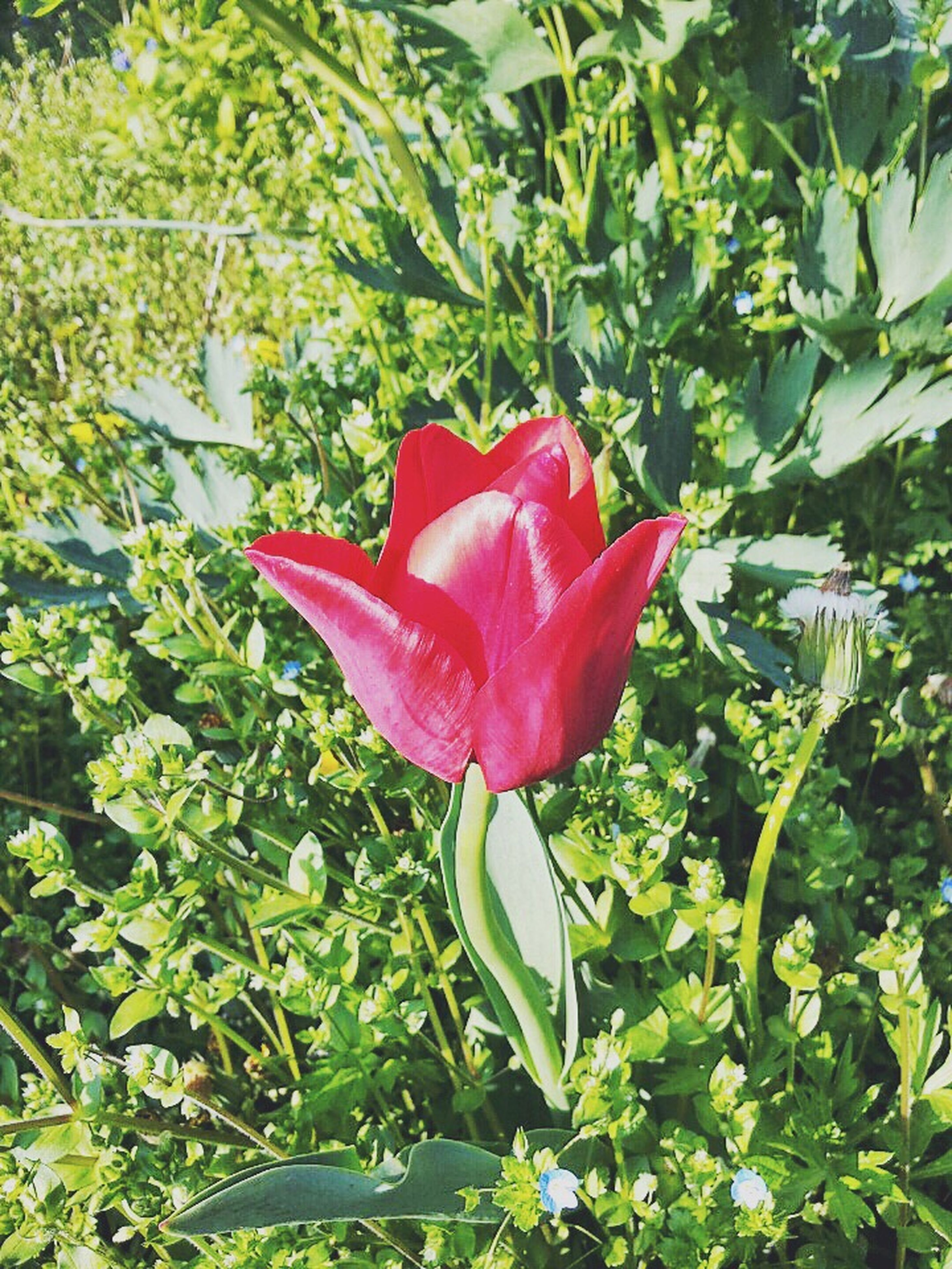 flower, petal, red, growth, freshness, flower head, fragility, plant, leaf, beauty in nature, green color, nature, blooming, single flower, close-up, day, no people, in bloom, blossom, outdoors