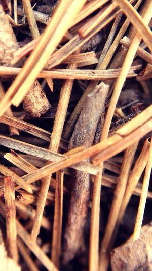 Pine Thorns Wood Macro