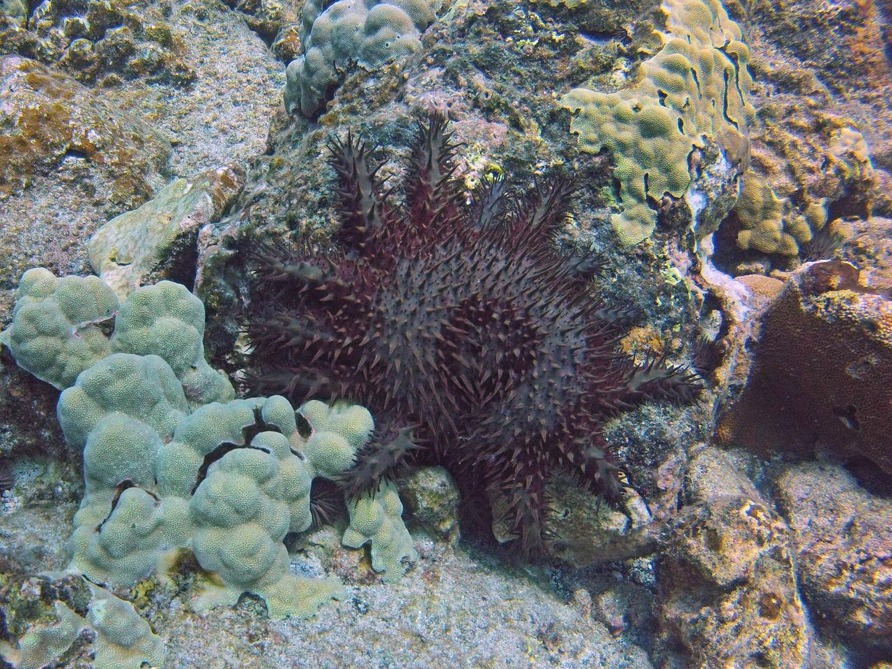Crown Of Thorns Starfish Honaunau Kona SCUBA Starfish