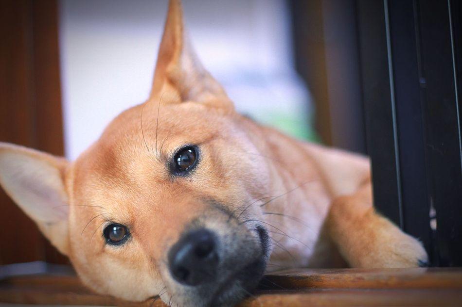 Korea Dog Pets One Animal Domestic Animals Indoors  No People Yem Warm Colors Shiba Inu 시바견 땅콩 시바이누 강아지 Animals Puppy