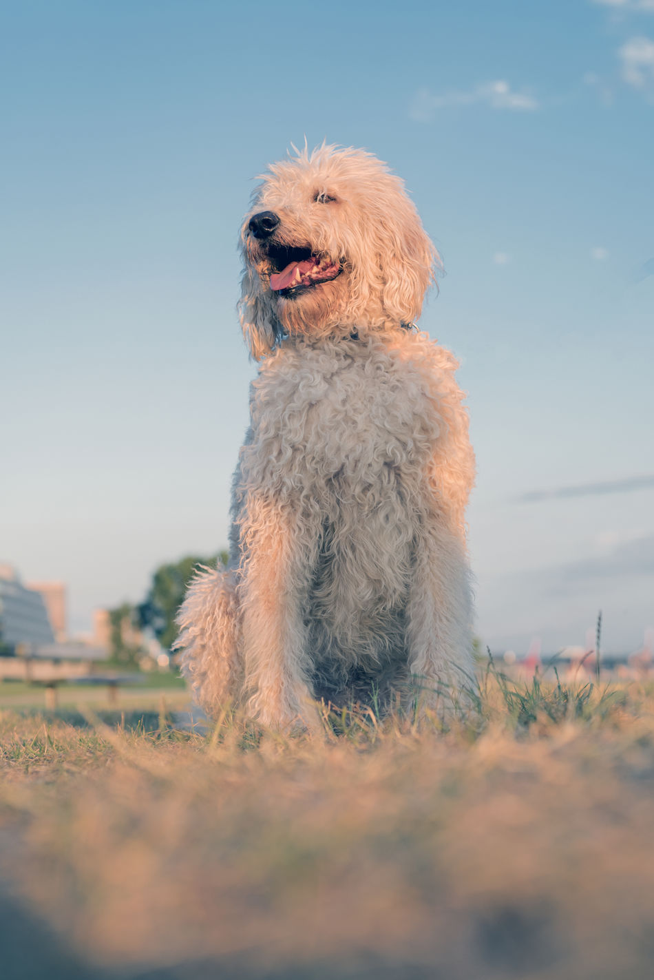 Labradoodle dogs outside at the park Animal Themes Companions Cute Day Daycare Dog Domestic Animals Golden Doodle Labradoodle Mammal Nature No People Obedience One Animal Outdoors Outside Pets Sky Training Walking