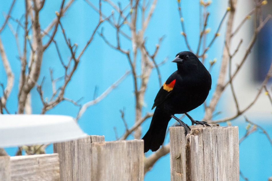 Red Wing Blackbird perched on a Wood Fence Animal Themes Animal Wildlife Animals In The Wild Animals In The Wild Bird Bird Photography Bird Watching Birds Birds Of EyeEm  Birds_collection Birds🐦⛅ Birdwatching Blue Day Fence House Background Nature No People One Animal Outdoors Perching Redwing Blackbird Tree Tree Window