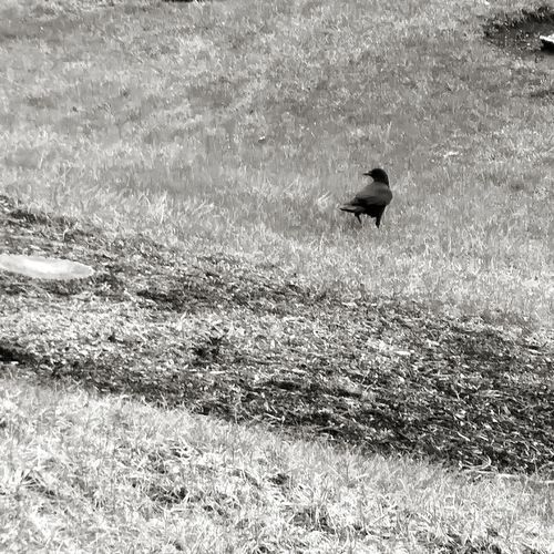 Crow Beauty In Nature Blackandwhitephotography No People Updatestatus Wednesday Afternoon Barragán
