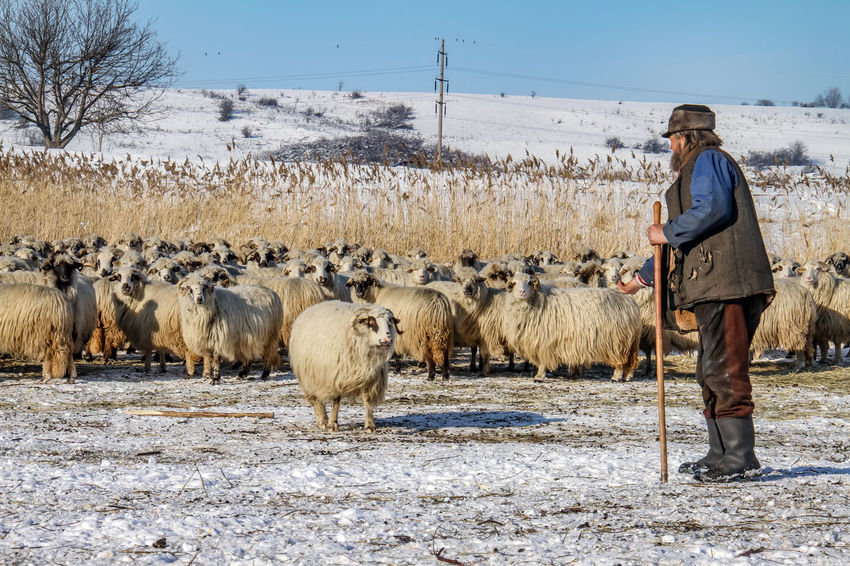 Shepherd Of The Sheep Agriculture Animal Themes Clear Sky Cold Temperature Day Domestic Animals Field Flock Of Sheep Large Group Of Animals Livestock Mammal Nature One Person Outdoors People Real People Sheep Sky Standing Winter