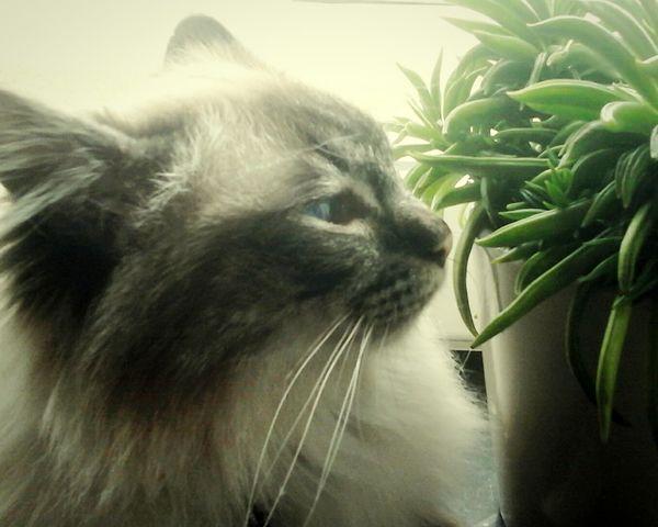 Pets Domestic Animals Domestic Cat One Animal Animal Themes No People Feline Cat Birmancats
