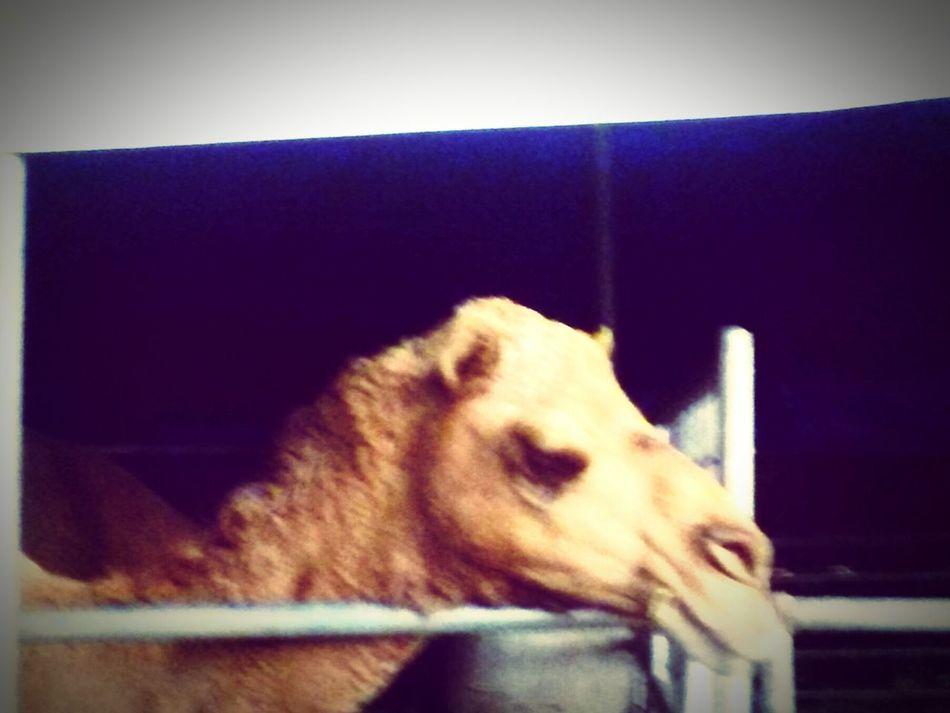 Sad Camel Camel Animal Life Caged Freedom Love