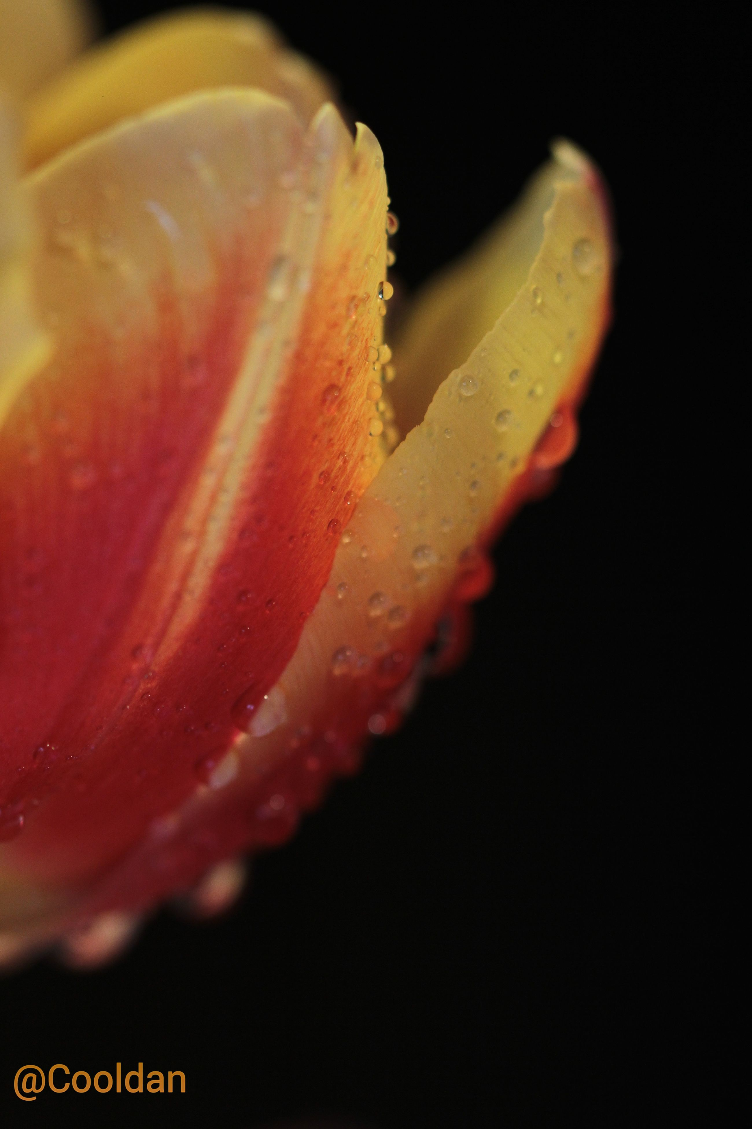 close-up, flower, freshness, black background, studio shot, petal, fragility, flower head, beauty in nature, night, single flower, nature, red, orange color, no people, selective focus, growth, drop, focus on foreground, water