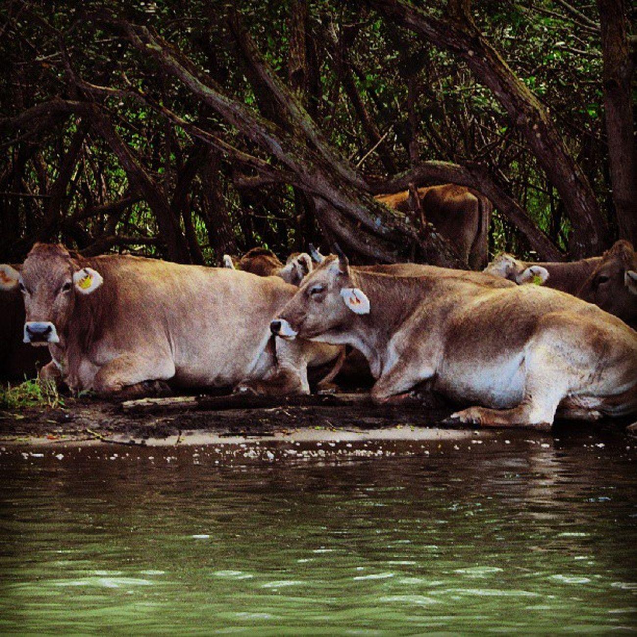 De agua Mexico Veracruz Casitas Playa manglares igersmexico igersveracruz animals cow