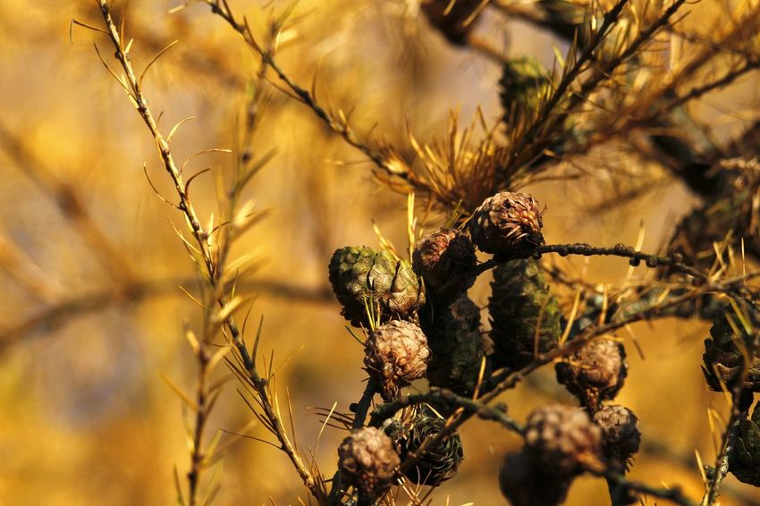 Lärchen Beauty In Nature Close-up Day Larix Nature No People Outdoors Tree