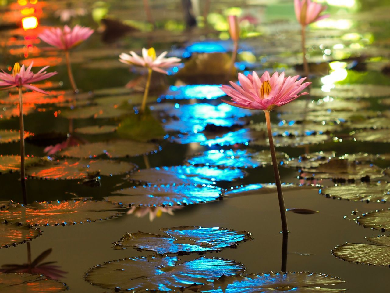 Lotus Flower Water Fragility Nature Water Lily Floating On Water Lily Pad Beauty In Nature Petal Waterfront Leaf Plant Lotus Water Lily Freshness Lotus Flower Head No People Growth Lake Blooming Reflections Nature Creative Light And Shadow Outdoors Beauty In Nature