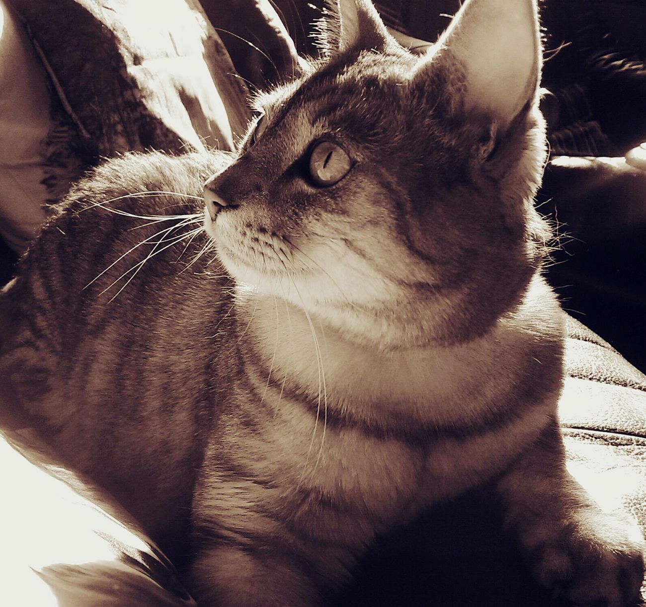 Cats Of The Day Cat♡ Cats Of EyeEm I Love My Cat ❤ Catslife Catlover Cute Cats Monochrome Sepia Sunbathing