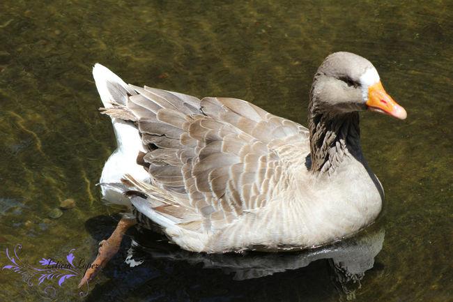 Animals Duck El Salvador Fureza Water