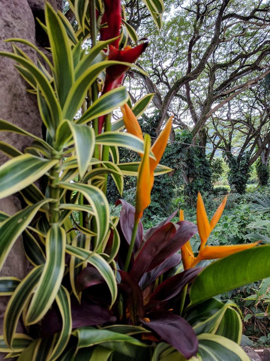touristy storefront floral arrangement Leaf Plant Nature Beauty In Nature Outdoors Popular Photos Oahu, Hawaii EyeEm Nature Lover Outdoors Photography Taking Photos Tropical Beauty Beauty In Nature Flowers,Plants & Garden Monkey Pod Tree Growth EyeEm Gallery Floral Arrangement Colorful Tropical Flowers Flora Flowerporn Tropical Flower What I Love Nature