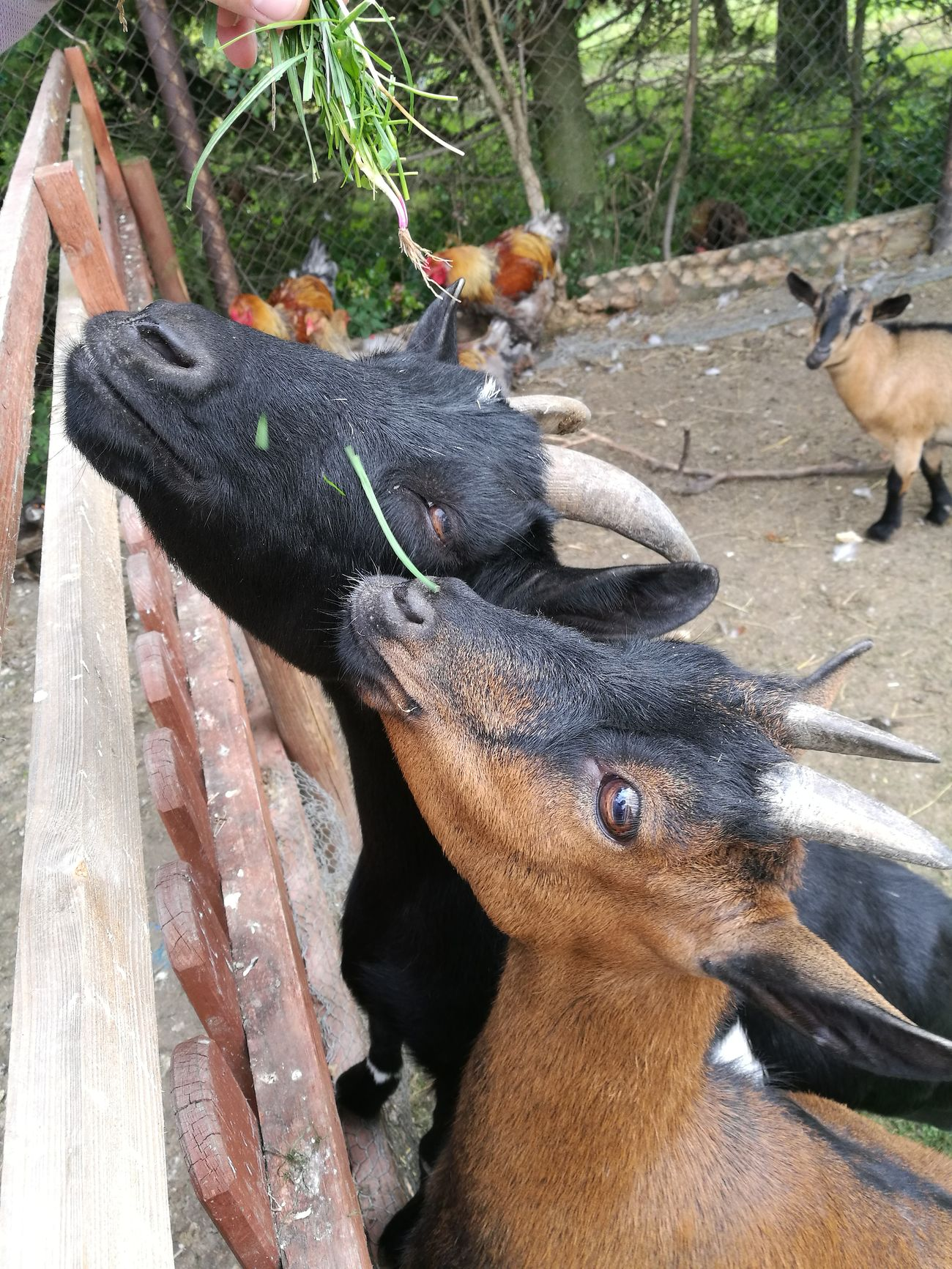 Goats Animals Eating