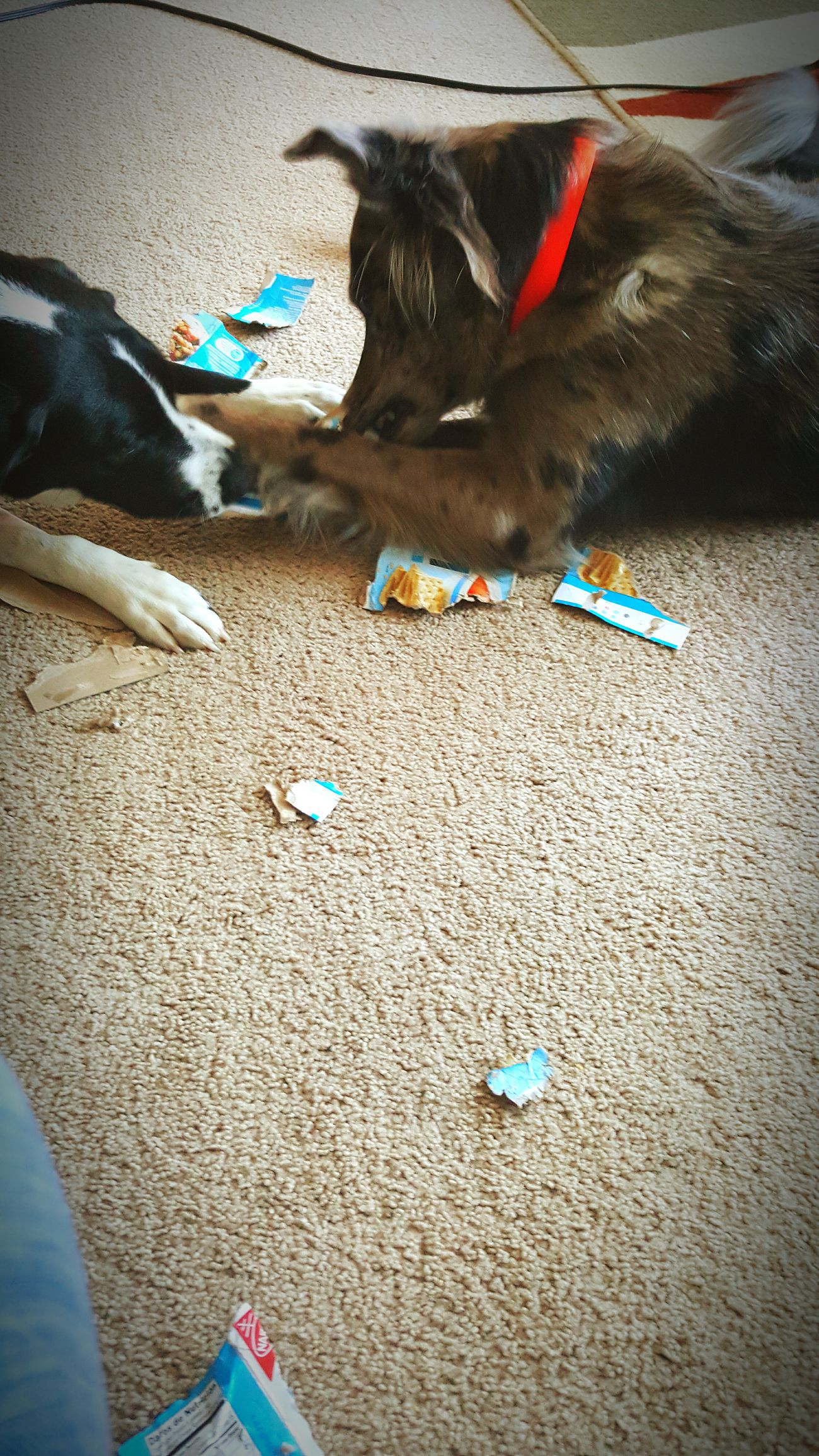 -Ivey & Miko-My New Toy New Toy Playtime Messing Around Friends ❤ Dogoftheday Dogslife Dogs Of EyeEm FUNNY ANIMALS Samsung Galaxy S6 Edge Cellphone Photography My Dogs Are Cooler Than Your Kids Relaxing Time Home Sweet Home Dog❤ Just Chillin' Countrylife Tug Of War The Winner Takes It All Sister From Another Mother  Party Girls Girls Just Wanna Have Fun :)