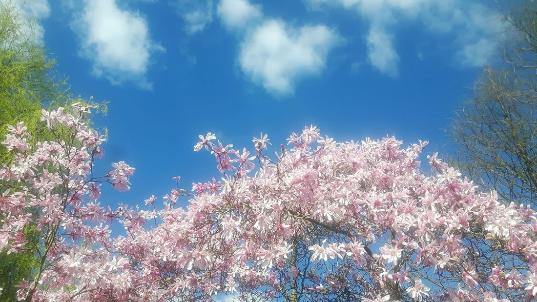 Tree Springtime Sky No People Low Angle View Nature Beauty In Nature Magnolia Flower Magnolienblüte Magnolias Blooming Magnolia Loebneri Magnolia Tree Magnolia Blossom Flower Head Branch Tranquility Low Angle View Magnolienknospe Tree Blossom Growth Nature Growth Day Outdoors