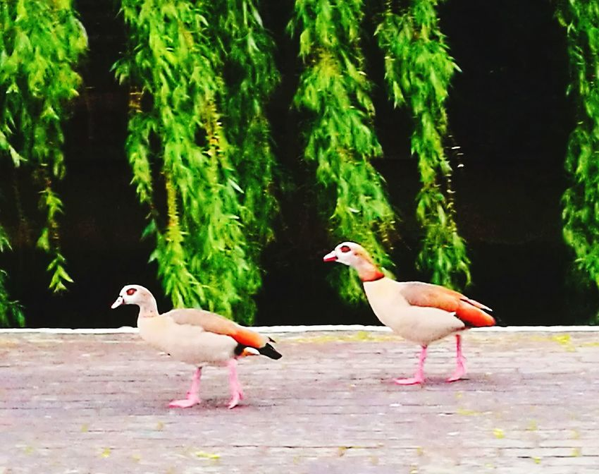 Egyptian geese willow tree Canal Bird Feather  Animal Wildlife No People Outdoors Togetherness Nature CanalSide Side Nature