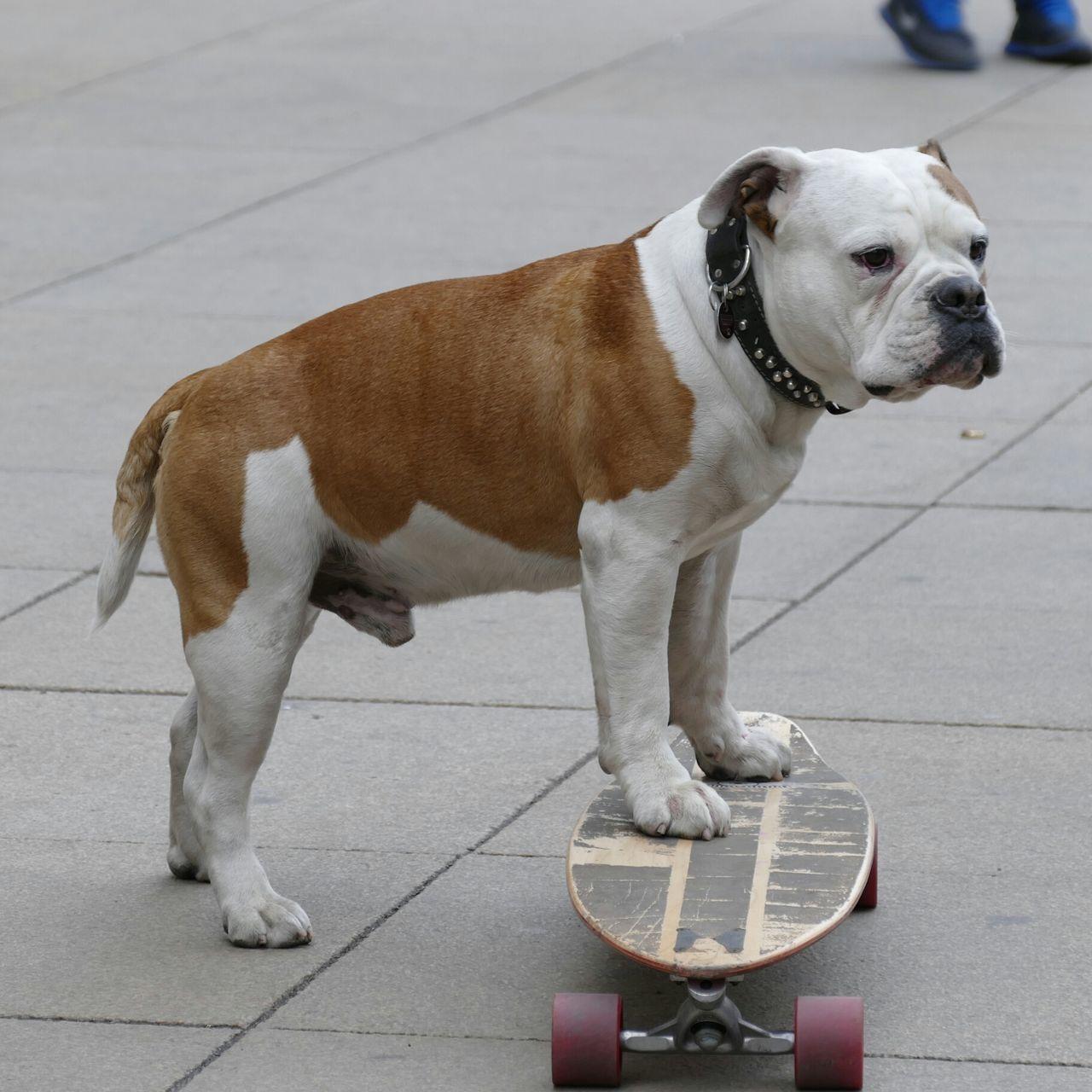 Beautiful stock photos of american bulldog, American Bulldog, Animal Themes, Day, Dog