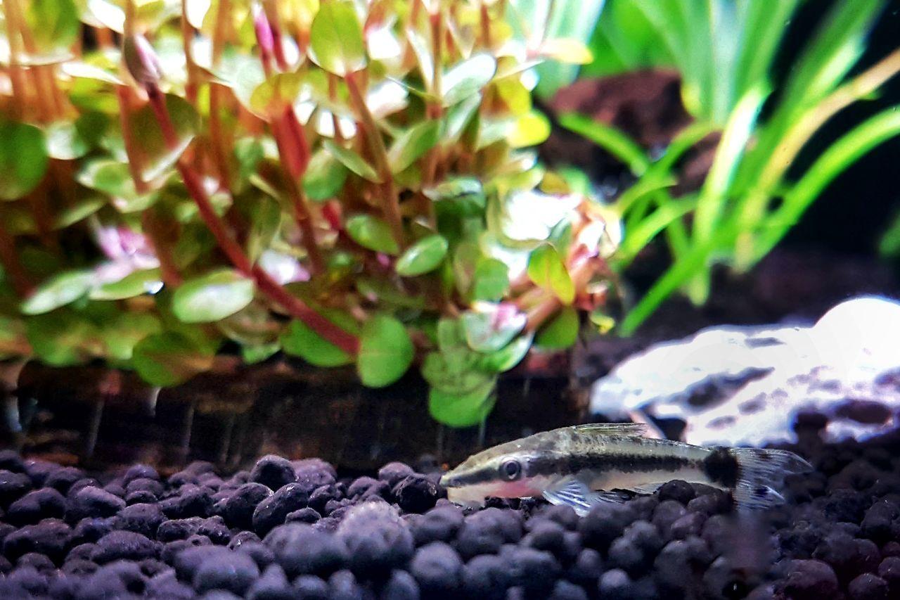 Aquarium Aquatic Plants Aquarium Life Phonegraphy Nano Fish Aquarium Photography Nanotank Beauty In Nature Ottocinclus Catfish
