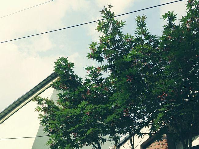 Geeenleave Fall Maple Leaf Maple Tree Tree 단풍나무 나무 초가을