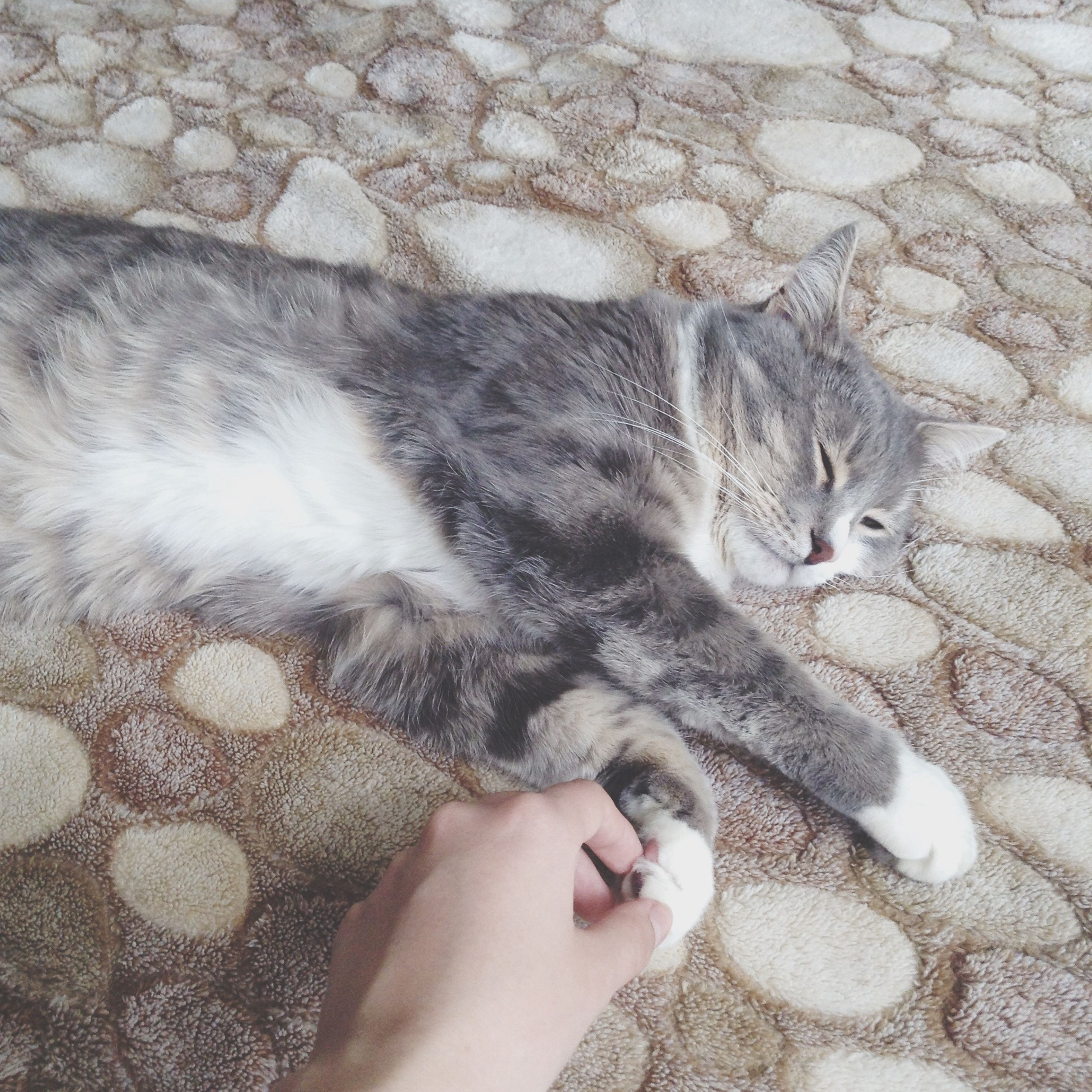 animal themes, domestic cat, pets, one animal, domestic animals, mammal, cat, feline, high angle view, relaxation, lying down, person, resting, whisker, part of, personal perspective, unrecognizable person