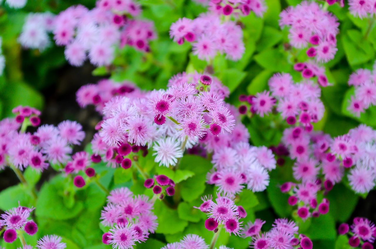 Flower Freshness Growth Nature Focus On Foreground Beauty In Nature Pink Color Plant Blooming Day Fragility Petal No People Outdoors Flower Head Close-up