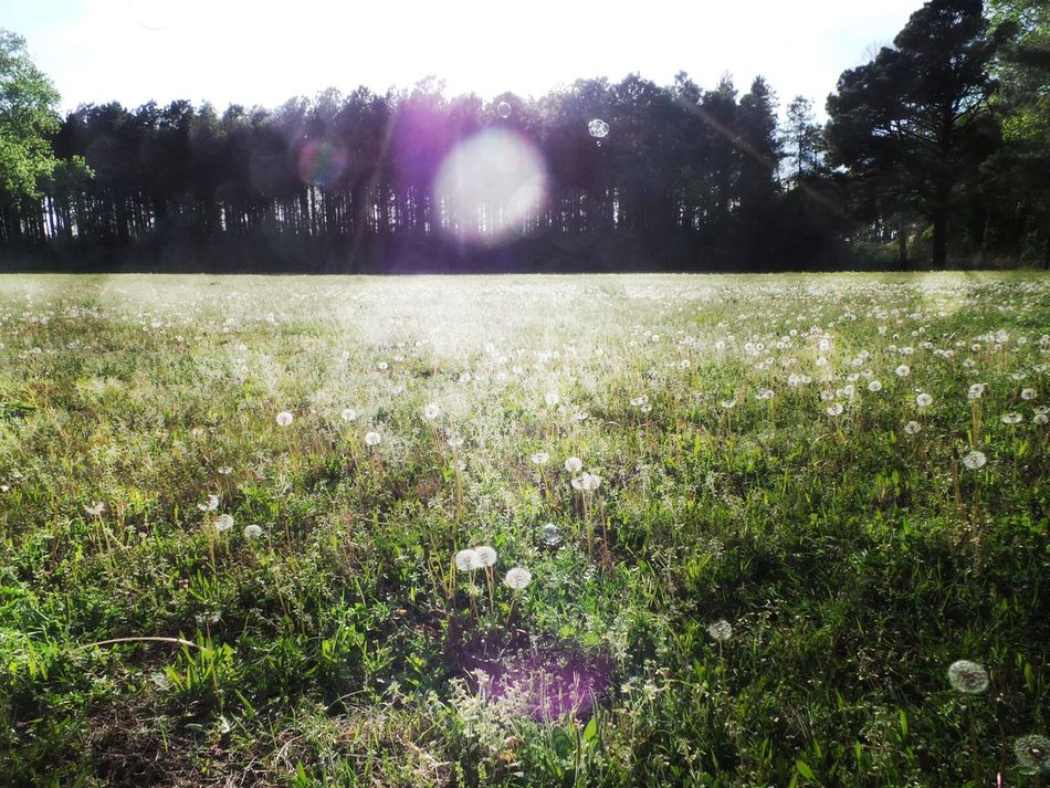 Dandelion In Grass End Of Spring Early Summer Light Beam Dandelion Meadow Sun Flare Trees In Distance