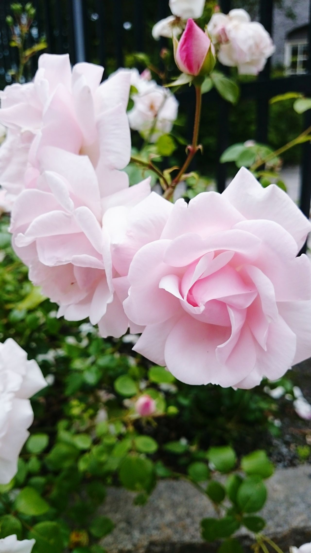Flowers Life In One Blink Of An Eye Pink Roses