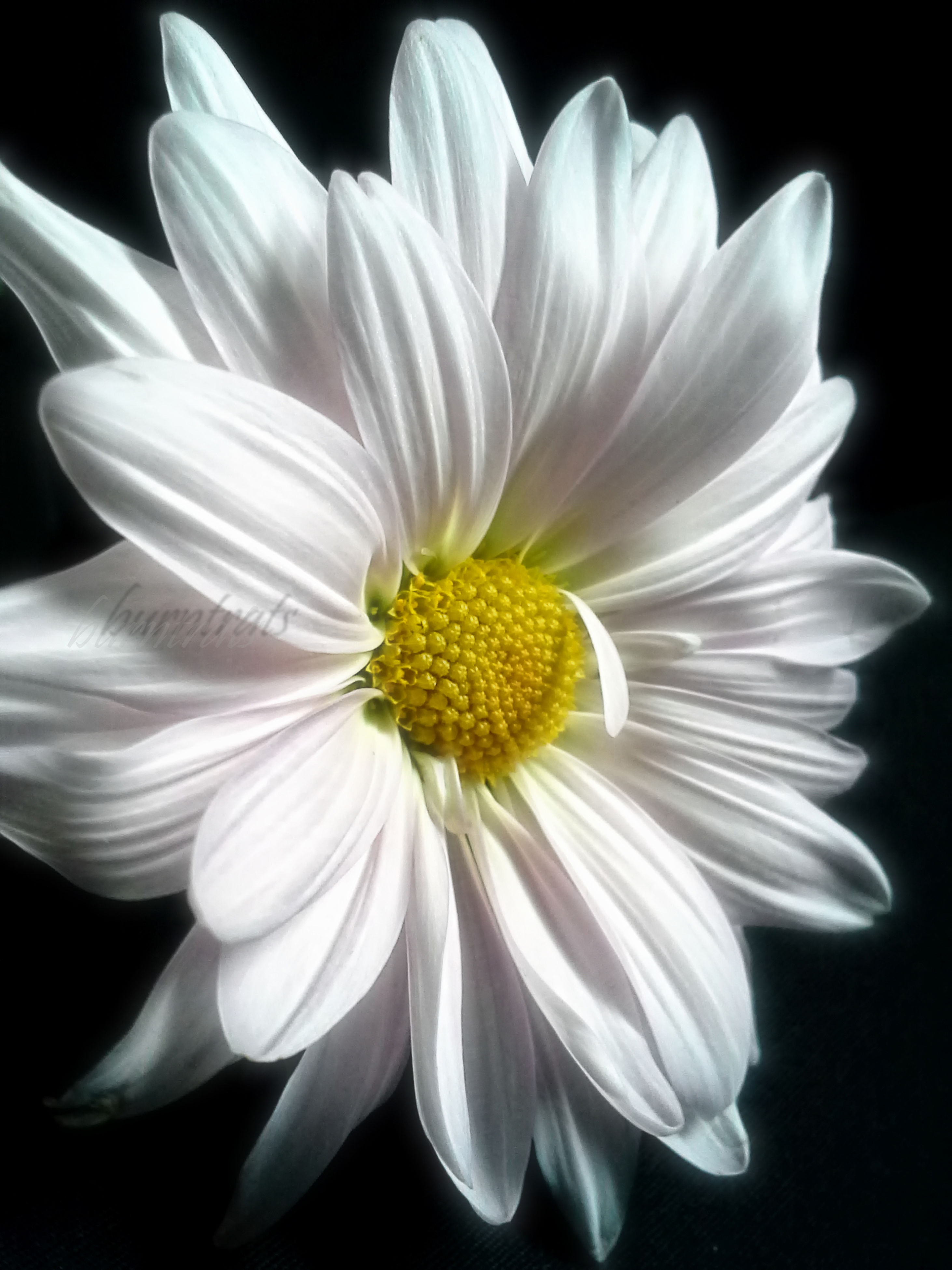 flower, petal, freshness, flower head, fragility, white color, beauty in nature, black background, studio shot, close-up, pollen, growth, single flower, nature, blooming, white, stamen, daisy, in bloom, blossom