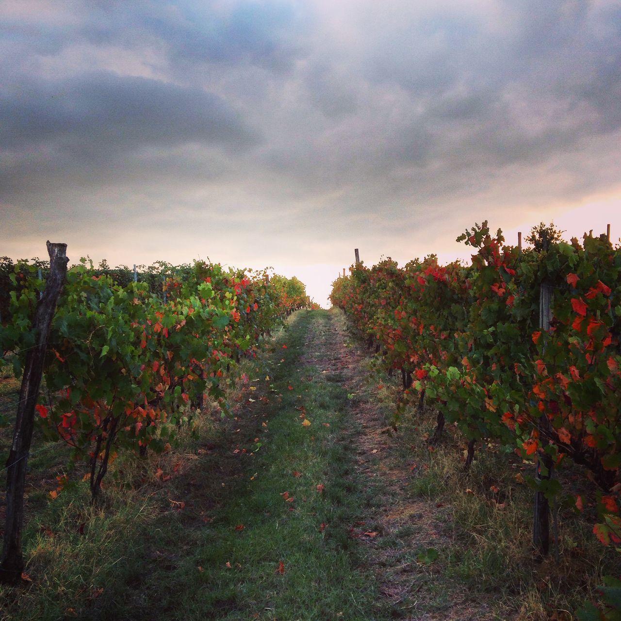 Vendemmia Lambrusco 2015! Vendemmia Lambrusco Wine Vino Tramonto Paesaggio Paesaggi_ditalia Campagna