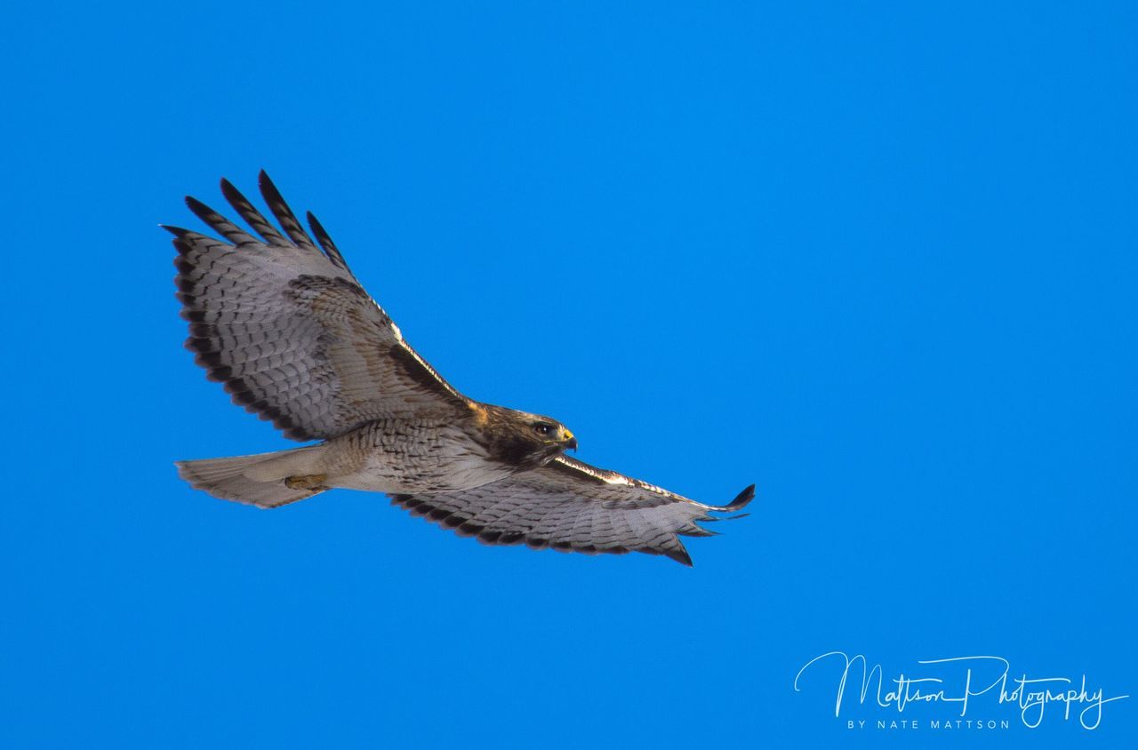 bird, animals in the wild, spread wings, animal themes, flying, one animal, animal wildlife, day, clear sky, copy space, blue, low angle view, mid-air, nature, outdoors, bird of prey, no people, beauty in nature, sky