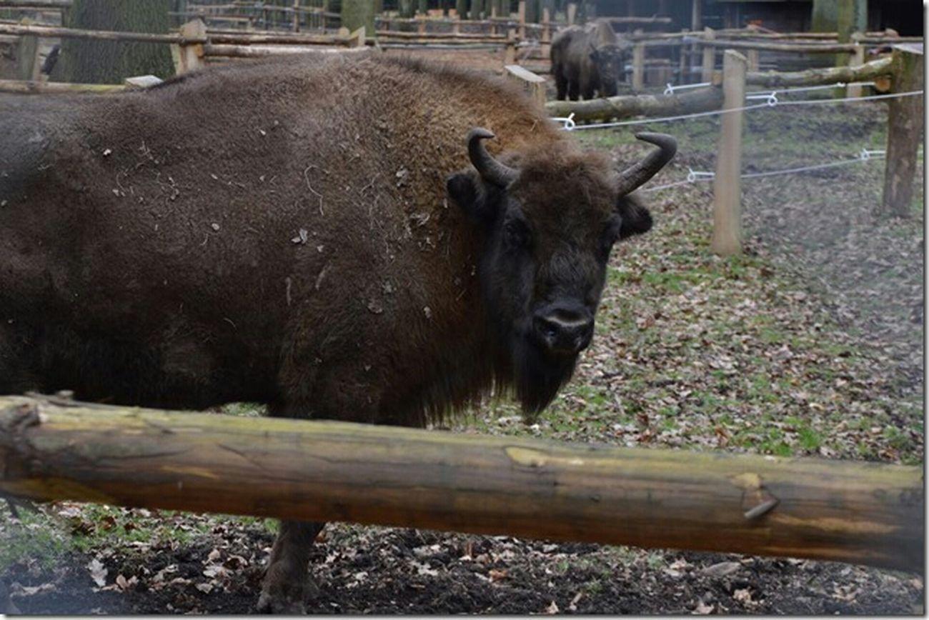 Animals Köln Bison