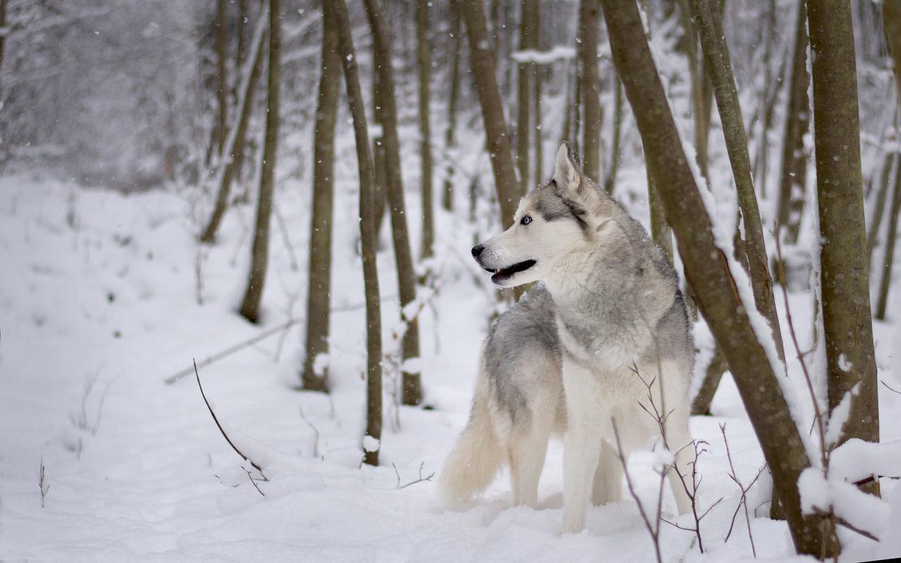 Freedom Husky Schnee Siberian Husky Snow ❄ Wild Wild Dog Wild Wolf Winterwald Wolf