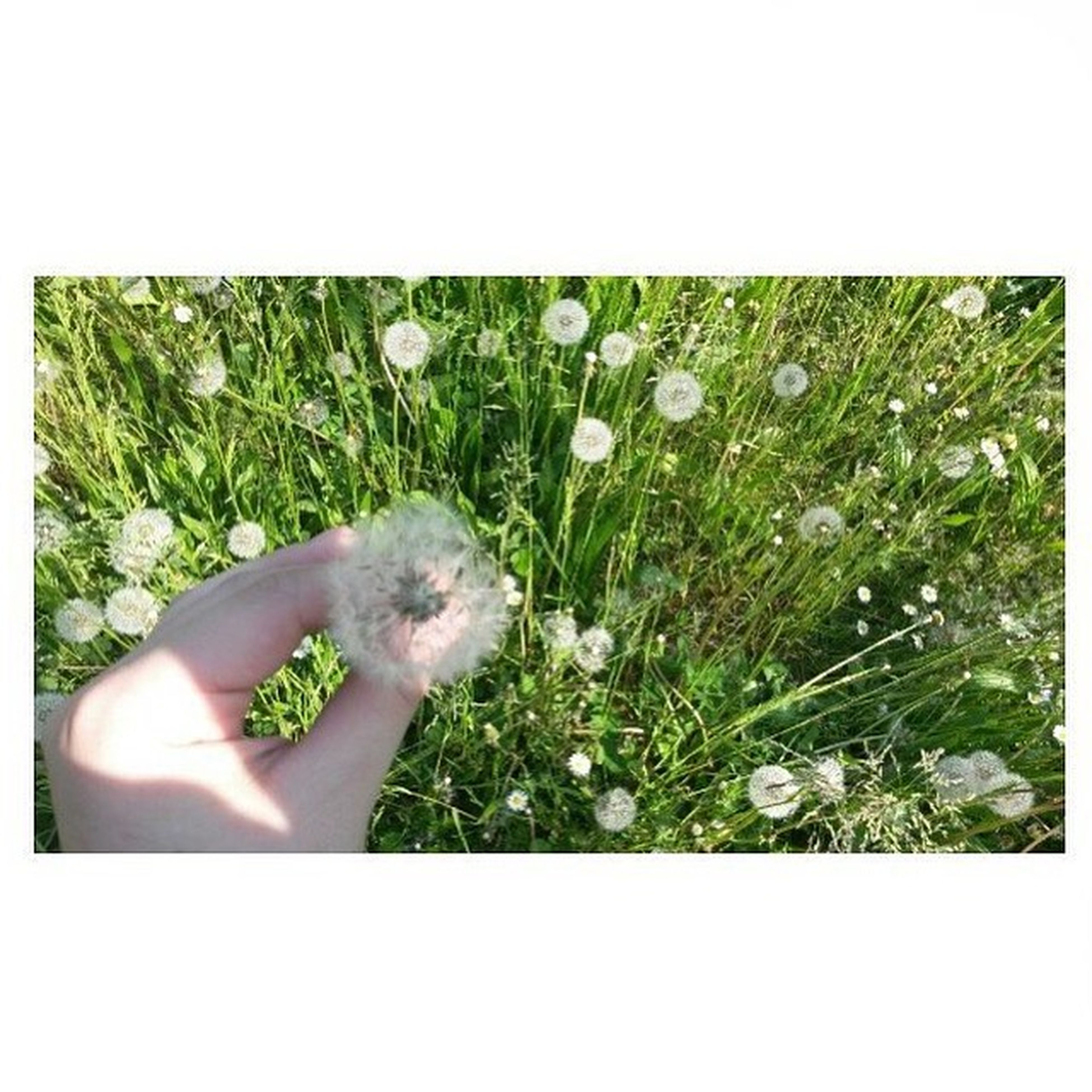 transfer print, auto post production filter, flower, plant, growth, one person, fragility, freshness, person, close-up, white color, green color, nature, beauty in nature, holding, flower head, field, copy space, day, dandelion