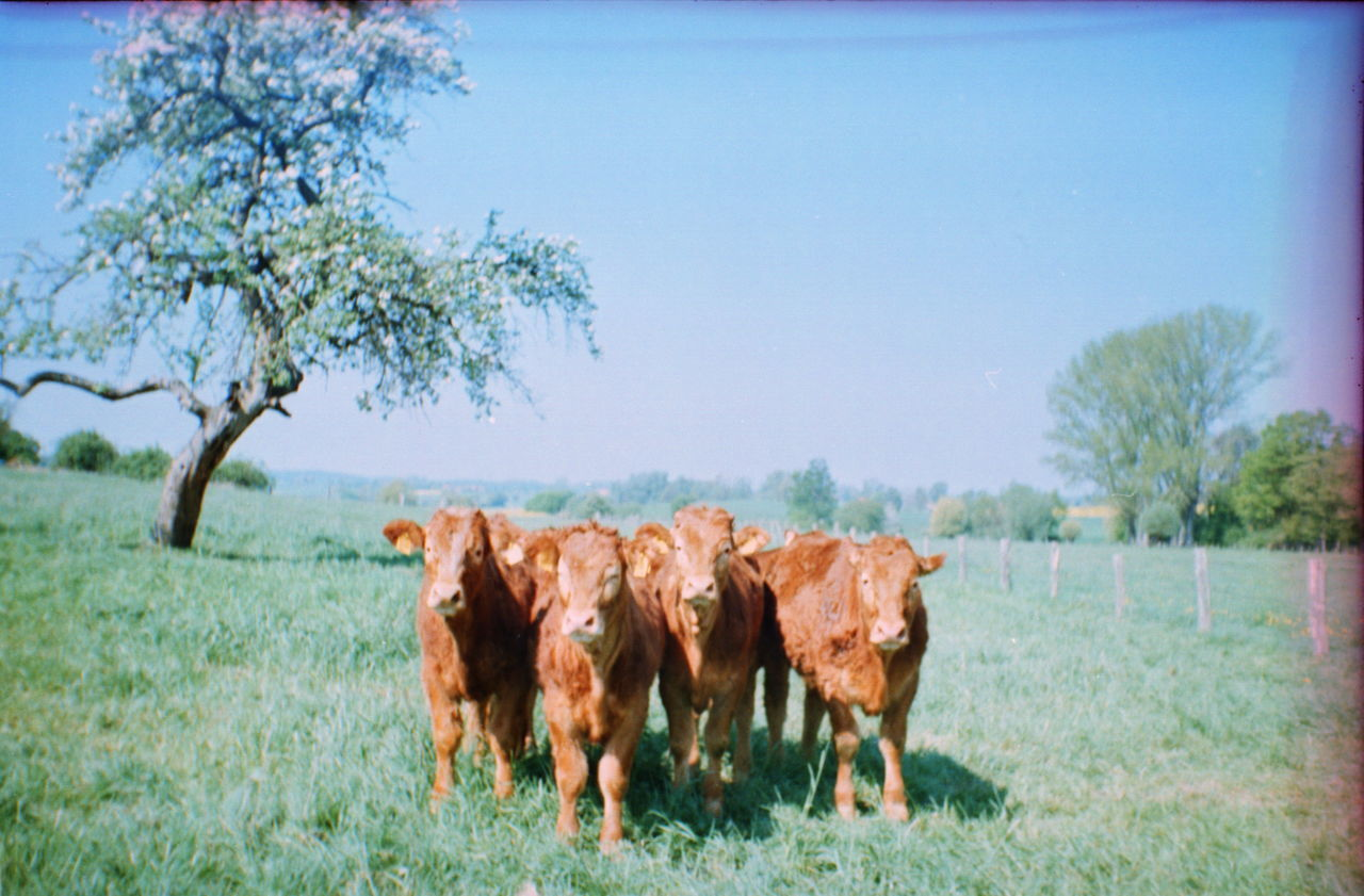 Beautiful stock photos of cow, Animal Themes, Brown, Cattle, Clear Sky