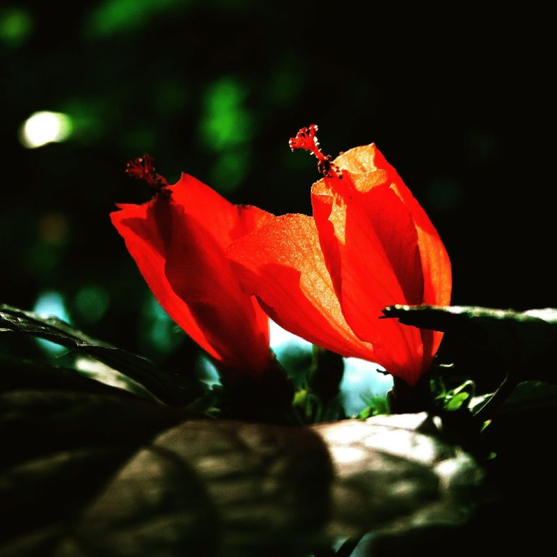 Flower Red Nature Leaf Fragility Poppy Growth Petal Close-up Outdoors Plant No People Day Beauty In Nature Flower Head Freshness Flor Vermelha Flores Vermelhas First Eyeem Photo