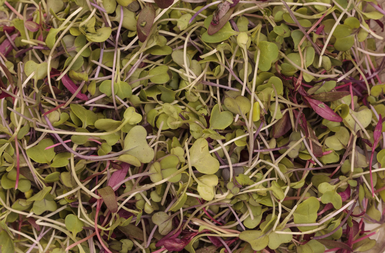 Mixed organic greens, including broccoli sprouts, background Background Backgrounds Broccoli Sprouts Close-up Day Full Frame Green Color Greens Growth Healthy Leaf Nature No People Outdoors Plant Sprouts Textured